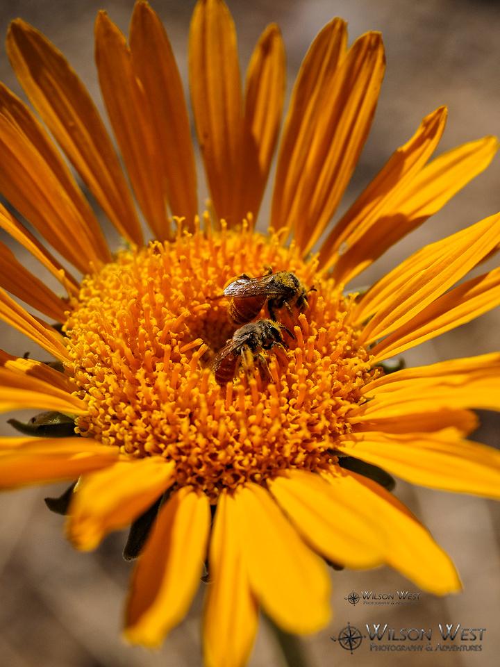 Sunray and Bee