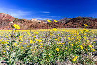 Death Valley Flowers 2016