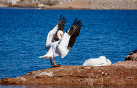 Lake Mead Pelicans 2-10-2021