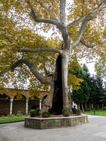 Sycamore Tree in Topkapi Palace